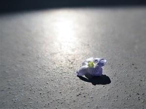 オオイヌノフグリの落ちた花びら(表面)