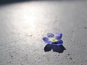 オオイヌノフグリの落ちた花びら